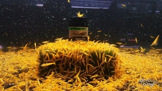 "Chris Lukhaup | Shrimp King on Instagram: ""My Minions❤️golden shower . . #aquarium #aquariumhobby #acuario #aquariumsdaily #aquascapes #shrimpking..."