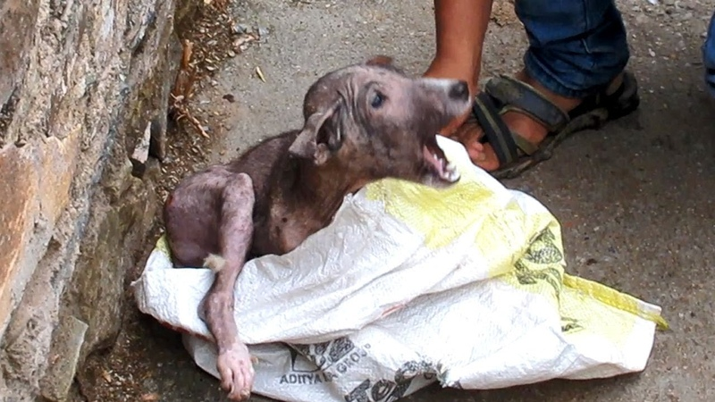 Terrified in pain, puppy's amazing transformation after rescue