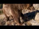 Доисторические хищники Prehistoric Predators Короткомордый медведь Shortfaced bear
