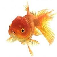 Показаны картинки по запросу Золотая Рыбка Картинки.