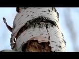 Как дятел долбит дерево: замедленная съемка