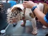 Porcupine vs Bulldog