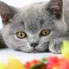 Британские котята. Питомник Лия. www.elitcats.ru