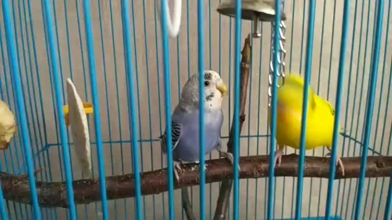 Драка попугаев в прямом эфире