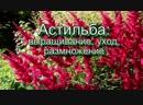 Астильба_ выращивание, уход, размножение-Дачники