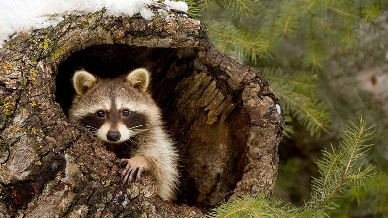 Картинка животное Енот ветки дерево снег лес
