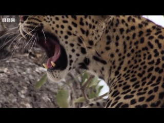 Leopard Mother Hunts for her Cub