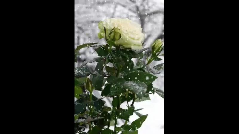 Zimni ruze