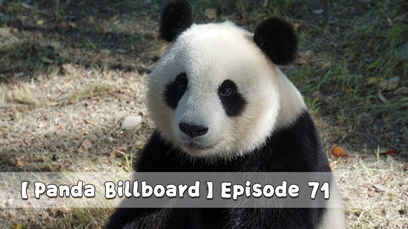 Panda Billboard Episode 71 iPanda