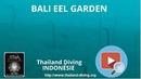 Bali Eel Garden with diving club Thailand Diving Pattaya