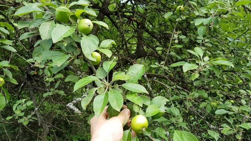 Всё зреет в нашем саду😍 - яблочки