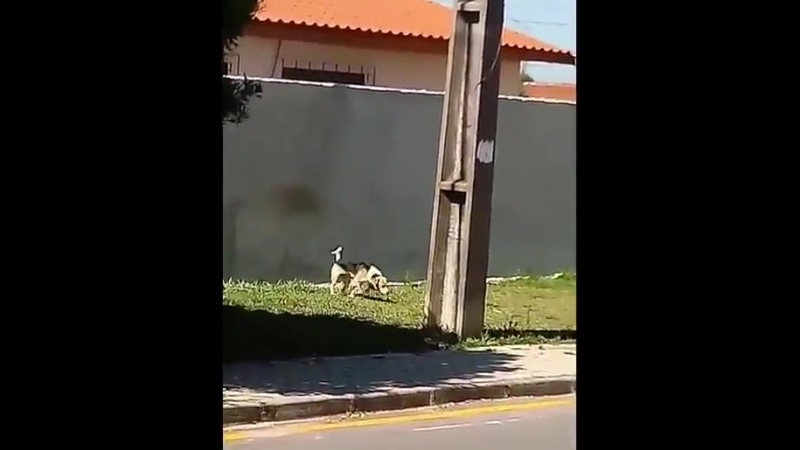 Пес - паркурщик