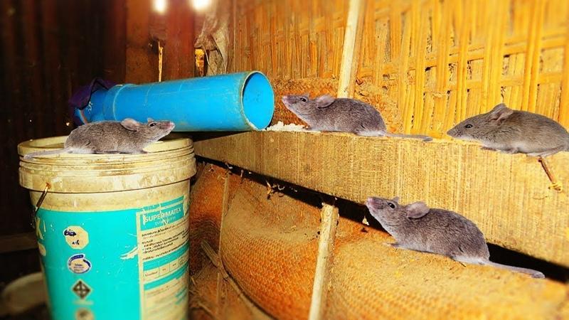 Mausefalle mit Eimer PVC Rohr | Einfache Rattenfalle selbstgemacht