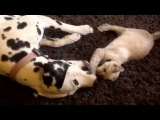 Silly game between Lady Dalmatian Dog and Squirt the Kitten!