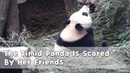 The Timid Panda Is Scared By Her Friends   iPanda