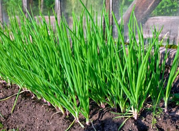 Когда сажать лук Особенности посадки и выращивания Лук наряду с морковкой, картофелем и капустой, является самой популярной овощной культурой, которая повсеместно используется людьми уже более