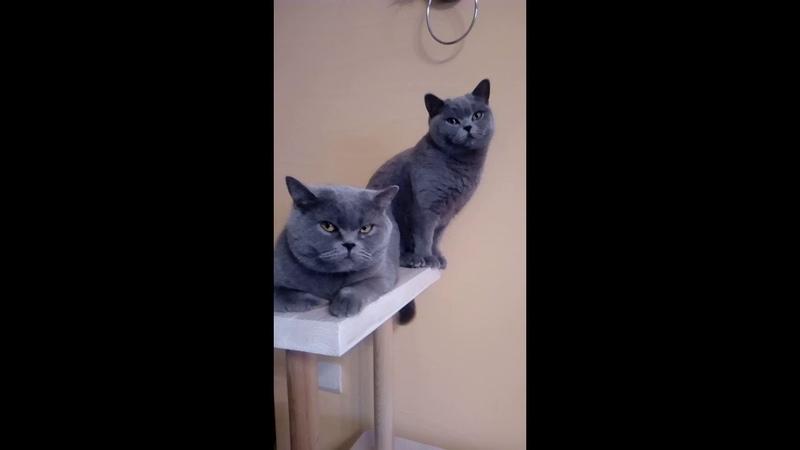 Британская кошка British shorthair