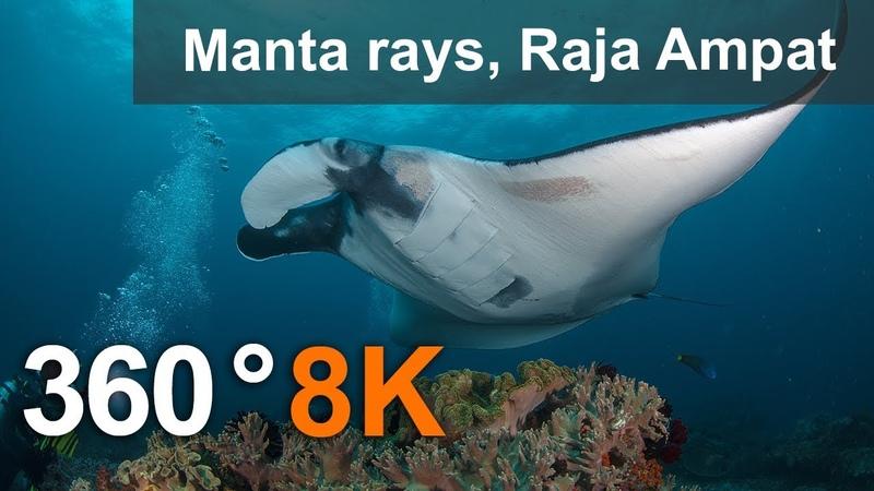 Diving with Manta Ray, Raja Ampat. 8K underwater 360 video