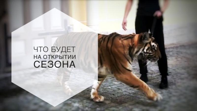 Тигрица Шакира гуляет по двору Михайловского театра