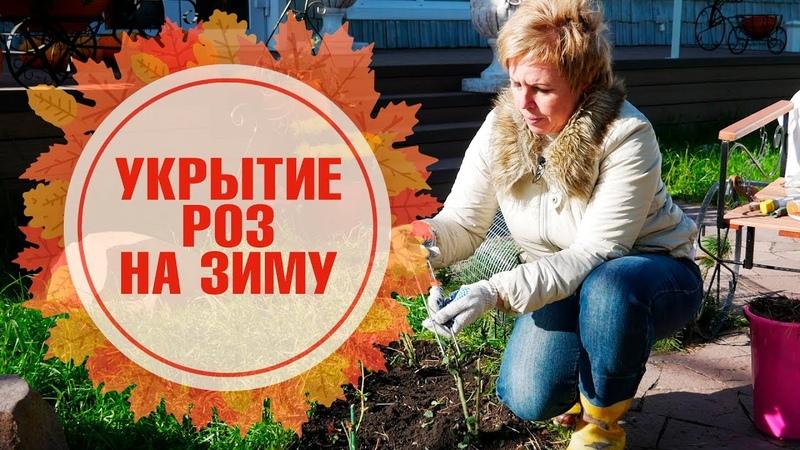 Розы уход обрезка укрытие и подготовка к зимовке 🌺 Как правильно сделать сухое укрытие