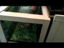 Рыбки-чистильщики