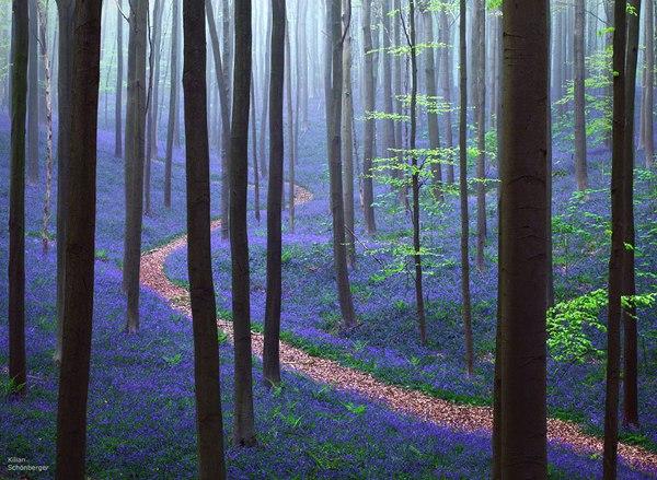 Весна в лесу Халлербос, Бельгия