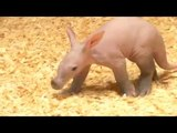 Prague Zoo's new baby aardvark goes on show to public
