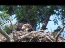 Roberts Bay Bald Eagle Nest June 2-2017