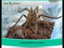 Poecilotheria ornata, боевая стойка