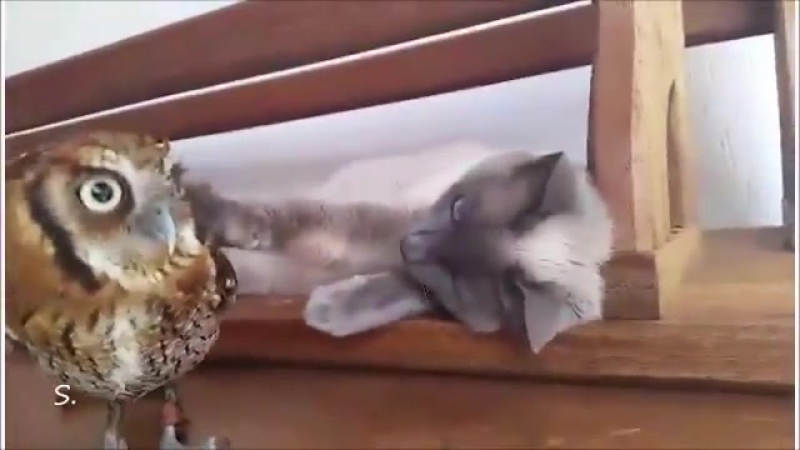 совенок и кот