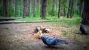 Белка дерется с голубем из за орехов