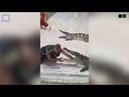 Крокодил чуть не откусил руку дрессировщику в Таиланде