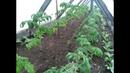 Высаживаю низкорослые помидоры в парник.