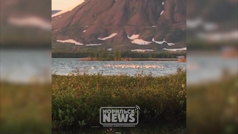 Гуси-лебеди в Норильске