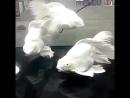 Гибрид золотой рыбки