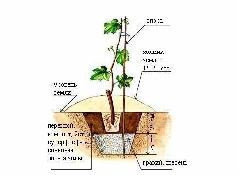 Как пересадить взрослый куст винограда