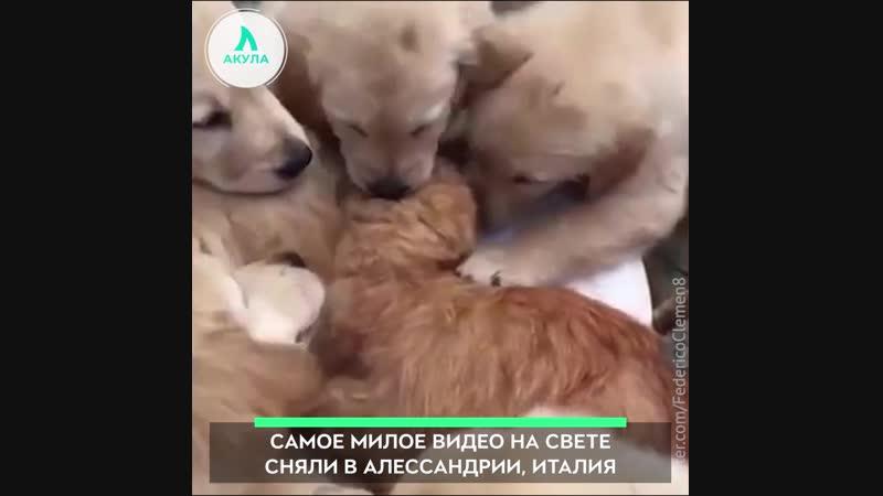 Щенки зацеловали кота АКУЛА
