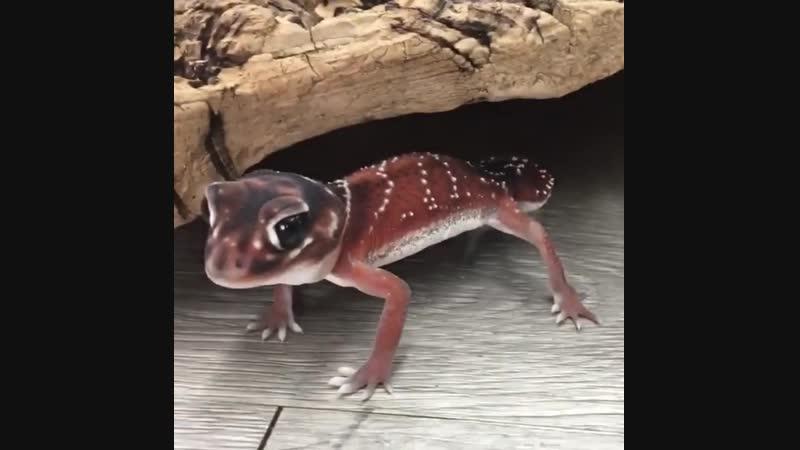 геккон отжимается