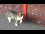 Прикольная походка кота