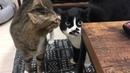 Поющий кот