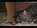 Вокруг сидящей на яйцах курицы обвилась огромная змея!