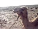 Верблюд жуёт.