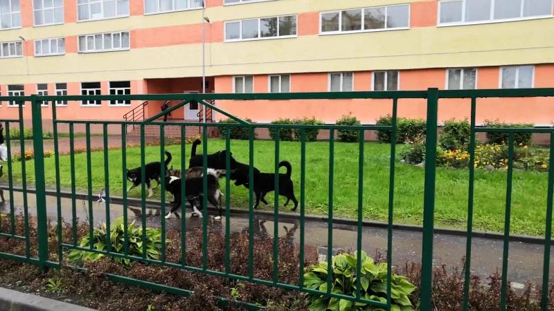 Свора собак возле 3й школы