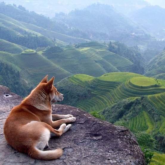 Красный волк и рисовые террасы китайского региона Гуанси