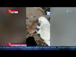 История чудесного спасения олененка собакой.