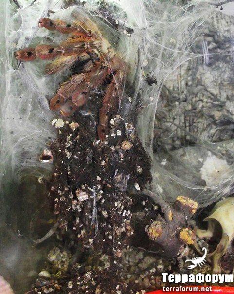Stromatopelma-calceatum