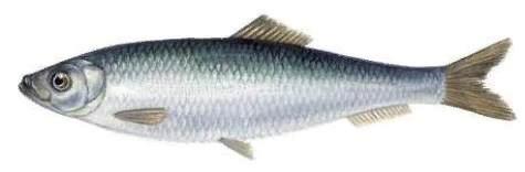 Разница между хамсой и килькой Хамсу и кильку люди добывают в больших количествах. Затем из этой рыбки готовят разные лакомства. Чем отличается хамса от кильки внешне и на вкус, какие кулинарные
