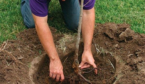 весенняя посадка саженцев в саду даже если ваш сад молод, и в нем не осталось свободного места, все равно редкий садовод удержится от покупки новых саженцев. весна заявляет свои права ярким