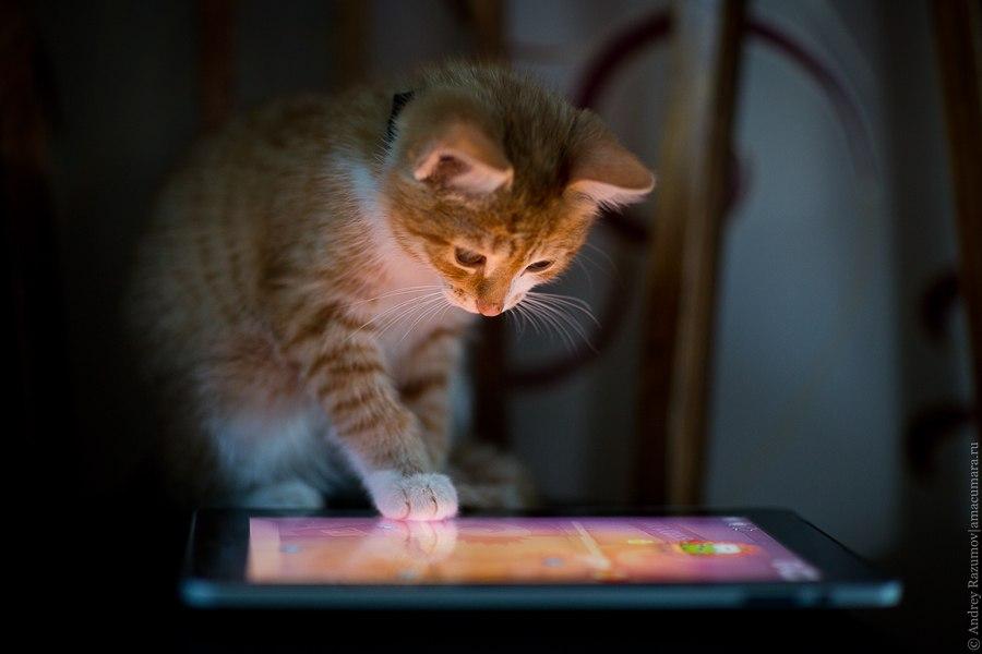 кот играет в ipad