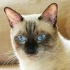 """Кошка как счастье (тайские """"сиамские"""" котята)"""